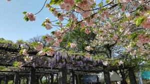 牡丹桜と藤棚